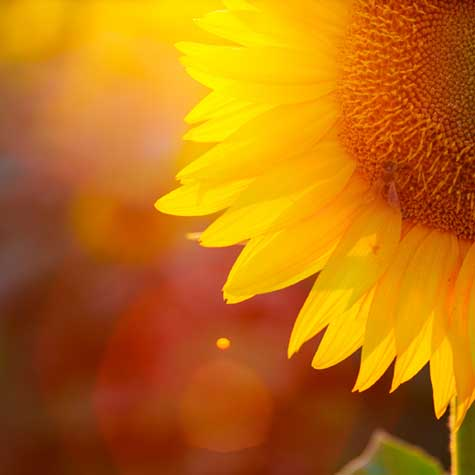 sunflower in the sun